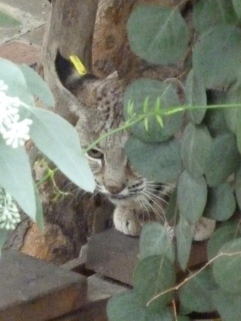 Bobcat on 2200 block of Beachwood Drive, Dec. 18 /Courtesy Virginia Parry