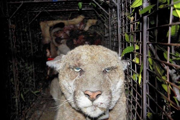 Beachwood Canyon's Very Sick Mountain Lion: How P-22 was Poisoned  (1/3)