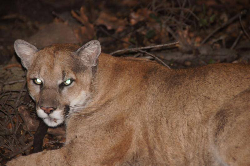 Beachwood Canyon's Very Sick Mountain Lion: How P-22 was Poisoned  (2/3)